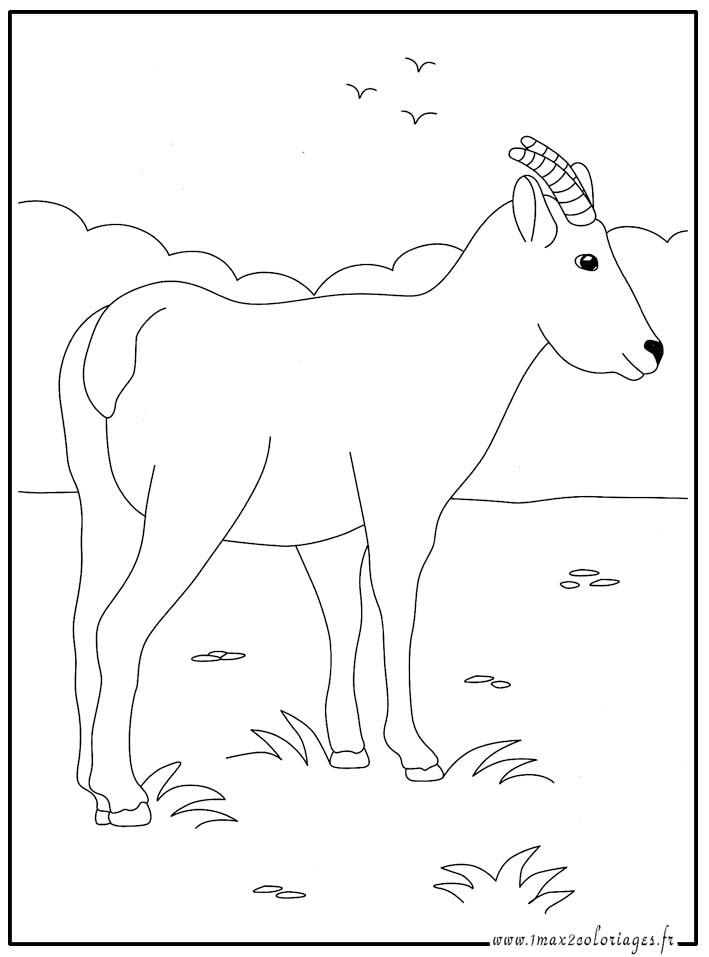 coloriages animaux du monde chamois