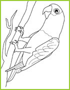 Coloriage perruches ins parables - Coloriage perruche ...