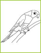 Coloriage d 39 oiseaux du monde entier - Coloriage perruche ...