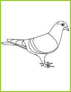 Coloriage d 39 oiseaux du monde entier - Coloriage pigeon ...