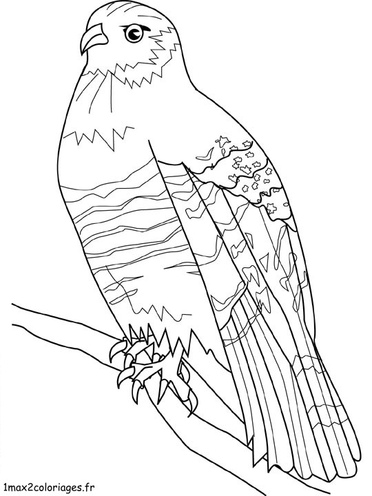 Red Tailed Hawk Coloring Page. Rabbit - Facts, Description, Food ...