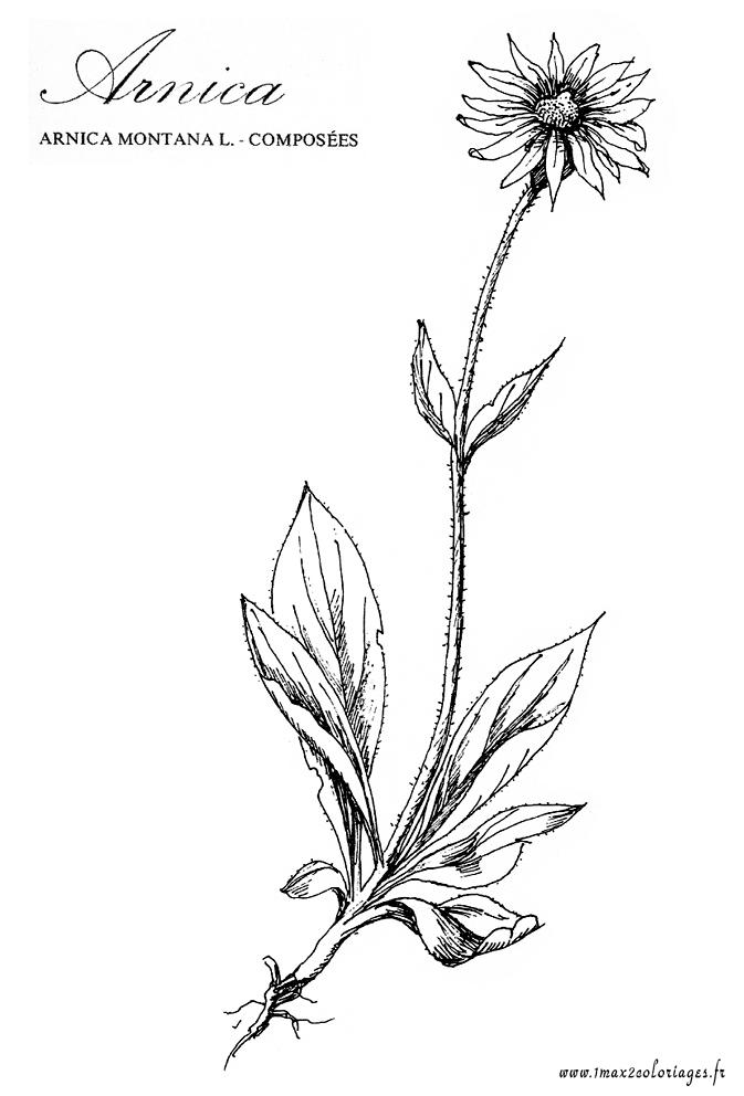 Arnica la fleur en dessin - Fleur en dessin ...