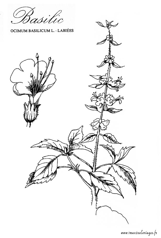 Coloriage de plantes aromatiques le basilic a imprimer - Ou planter le basilic ...