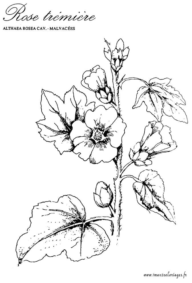 coloriage plante aromatique - Dessin De Rose A Imprimer
