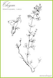 Coloriages de plantes aromatiques a imprimer de roses for Plante zaatar